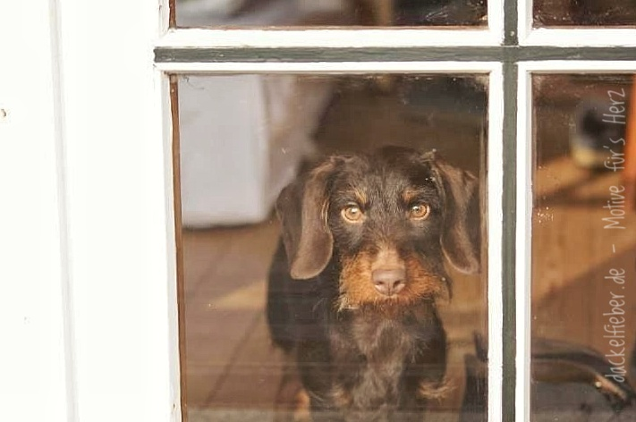 Dackel am Fenster