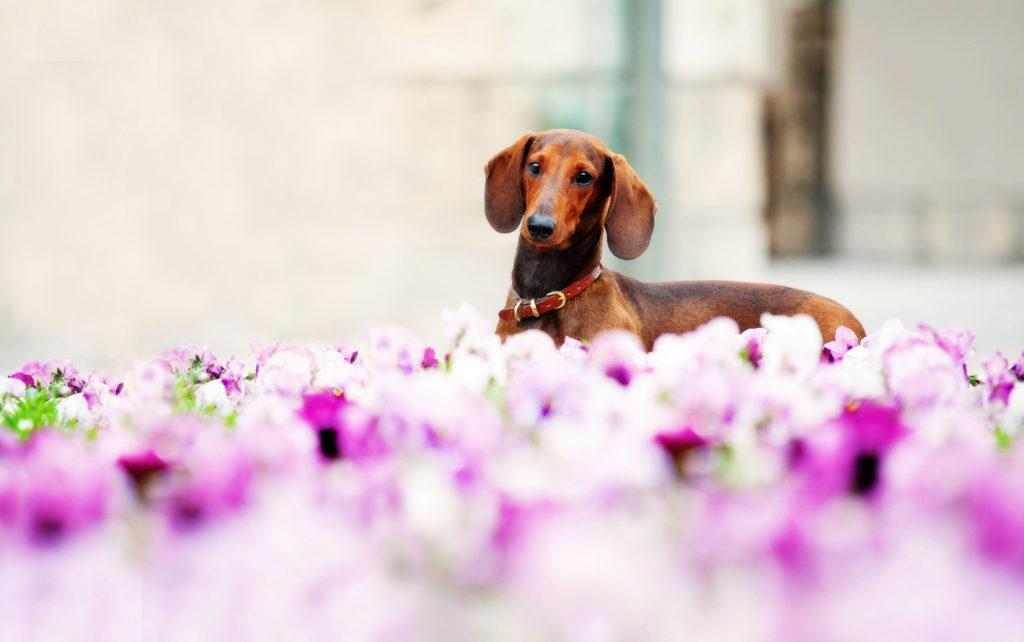 Dackel im Blumenmeer