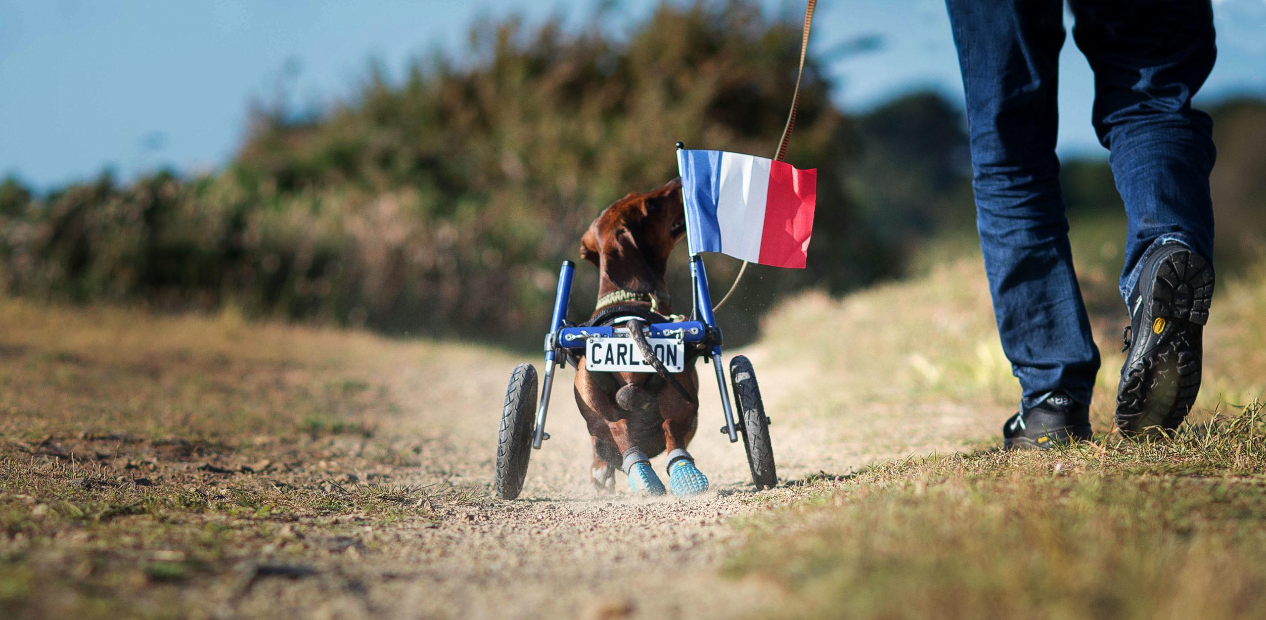 Dackellähmung Rollstuhl