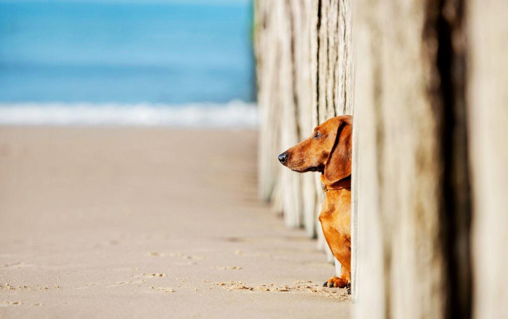 Dackel am Strand