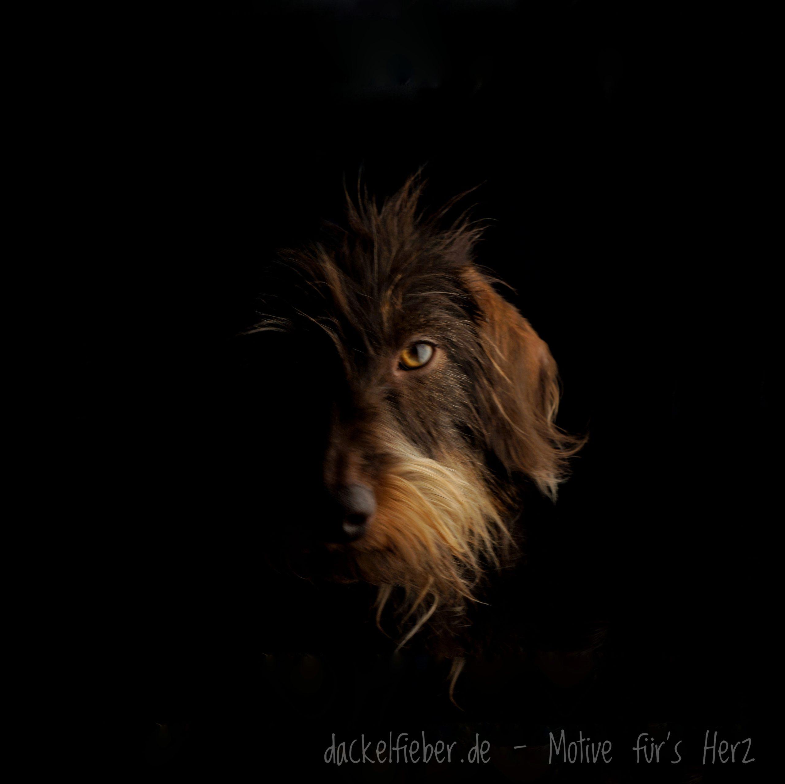 Rauhaardackel Bild dunkel
